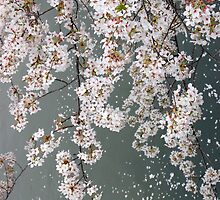 Delicate, Drifting Cherry Blossom by WaterGardens