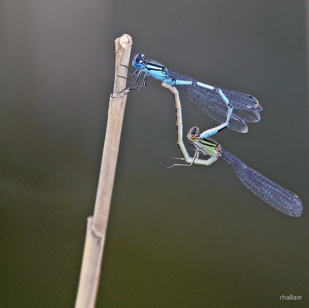 Common Blue Damsefly by rhallam