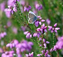 Silver Studded Blue Butterfly by rhallam
