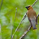 Cedar Waxwing - Ottawa Ontario - 2 by Michael Cummings
