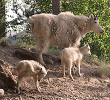 """If it itches...""  Mountain goat with kids, Montana photo. by Donna Ridgway"