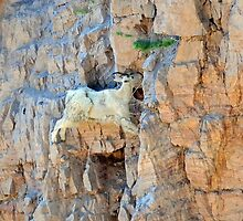 One thousand feet up-one thousand feet down, what's the diff?  Montana mountain goat photo. by Donna Ridgway