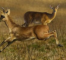 BOHOR REEDBUCKS (Redunca redunca) (NOT A PHOTOGRAPH) PLEASE READ BLURB by DilettantO
