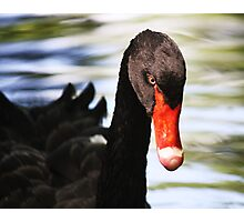Black Swan Day Dreaming Photographic Print