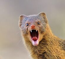 Slender Mongoose - Taking on LIfe by LivingWild
