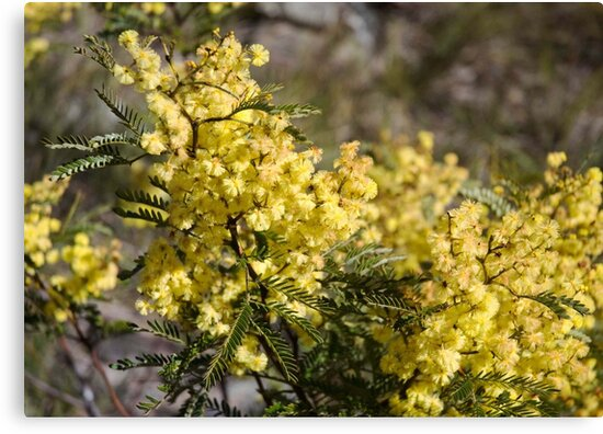 Blue Mountains Wattle by garts