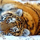 An Amur Tiger Cub Resting During Winter by GoWildScotland