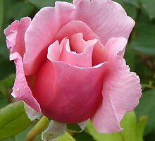 Simply a Rose by Colin Metcalf