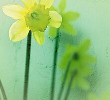 daffydowndillies by Clare Colins