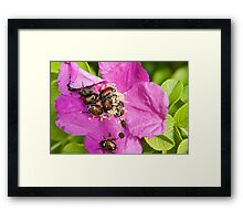 And a bug tussle, a rose Framed Print