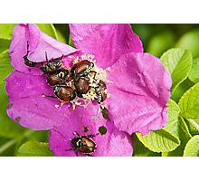 And a bug tussle, a rose Photographic Print