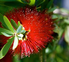 Red Bottle Brush by Zachary Babich