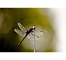 Winged beauty Photographic Print