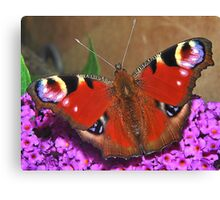 Visiting  Peacock Canvas Print