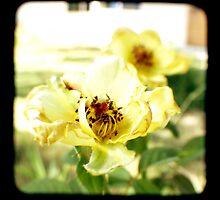 Bloomed Roses by redashton