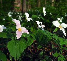 Field Of Trillium by Bill Spengler