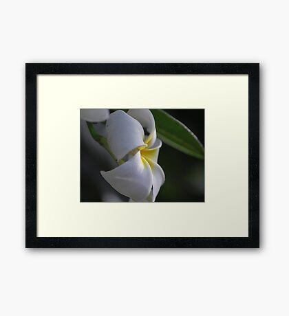 Plumeria in natural light Framed Print