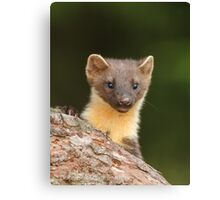 Peeking Pine marten Canvas Print