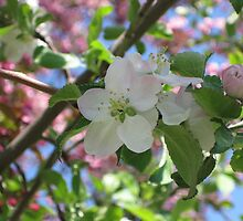 Spring Blossoms by Rochelle Smith