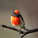 Red-capped Robin ... so cooperative by Kerryn Ryan, Mosaic Avenues