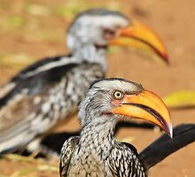 Yellow-billed Horn-bill - Beaks of Color and Life by LivingWild