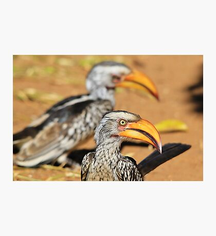 Yellow-billed Horn-bill - Beaks of Color and Life Photographic Print