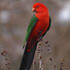 King Parrot In My Garden. by shortshooter-Al