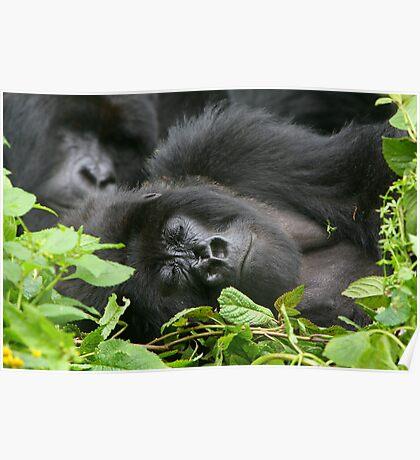 Sleeping Giant - Mountain Gorilla Poster