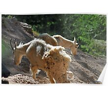 Shaggy 'n' Shed, Montana Mountain Goat photo. Poster