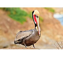 California Brown Pelican Photographic Print