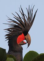 Bad Hair Day - Palm Cockatoo by naturalnomad