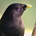 Male Bower Bird by Kym Howard