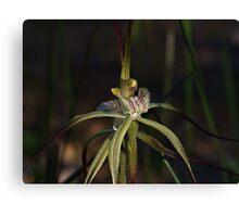 Spider Orchid (Calandenia xantha) Canvas Print