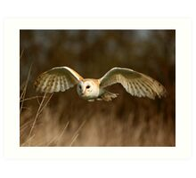 Barn Owl Flight  ( Tyto alba ) Art Print