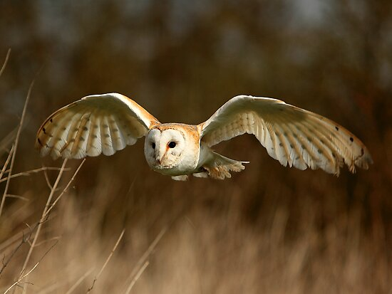 Barn Owl Flight  ( Tyto alba ) by Norfolkimages