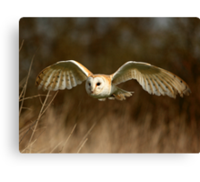 Barn Owl Flight  ( Tyto alba ) Canvas Print