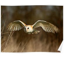Barn Owl Flight  ( Tyto alba ) Poster