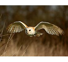 Barn Owl Flight  ( Tyto alba ) Photographic Print