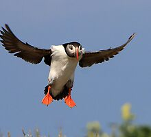 Puffin ( Fratercula arctica ) Landing by Norfolkimages