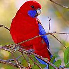 Crimson Rosella by Kym Howard