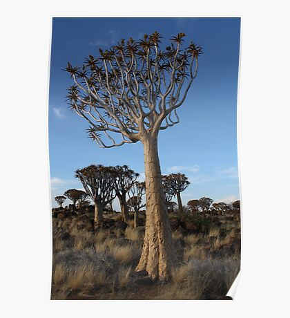 Tall & Slim, Quiver tree in Namibia Poster