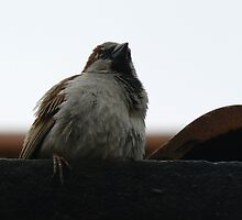 House Sparrow  by David Bass