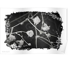 White Baby's Breath Flowers Poster