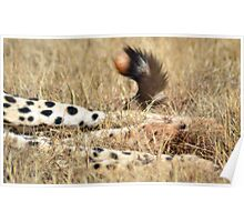 Cheetah paws & tail Poster