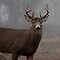 Whitetail Buck - White-tailed Deer by Jim Cumming