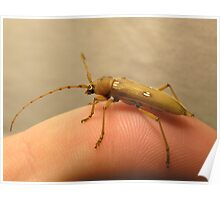 Ivory-spotted Longhorn Beetle Poster
