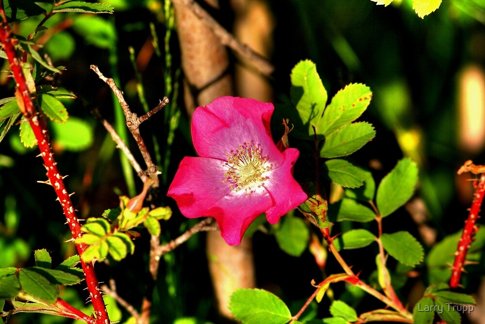 Wild Prairie Rose by Larry Trupp