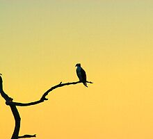 Osprey at Sunset by Gail Falcon