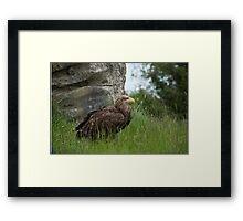 Irish Sea Eagle Framed Print