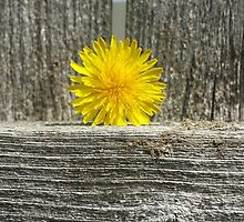 Dandelion on a Fence by Megan Stone